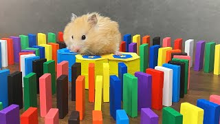 Hamsters and Domino | Hamster reaction