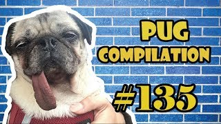 NEW ! Pug Compilation 135 – Funny Dogs but only Pug Videos | Instapug