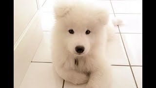 Samoyed Videos Compilation – Funny Cute Samoyed Puppies and Dogs Playing Howling