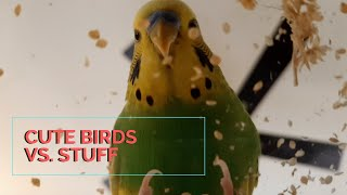 Cute Birds vs. Stuff | Budgie and Cockatiel friends