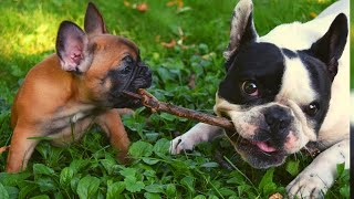 Funny and Cute French bulldog puppies 2020 😍 Cute Puppies Doing Funny Things 2020