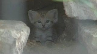 Cute cats: Rare sand kittens born in Tel Aviv