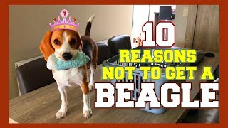 TOP 10 : WHY NOT get a BEAGLE! Funny Beagles Louie & Marie