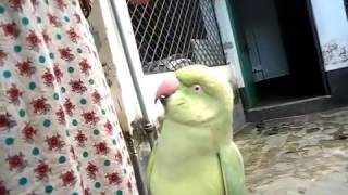 Mithu is a Bangladeshi talking Parrot : Funny Intelligent Birds Video | Funny Birds videos