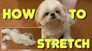 Cute Shih Tzu Learns How To Stretch While On Quarantine ( Funny Dog Video)