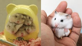 Funny and Cute Hamster Compilation 🐭 – Cutest Hamster In The World 2020 #2 | Cute VN