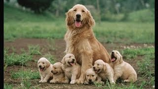Funny and Cute  Golden Retriever Puppies Compilation #1 – Cutest  Golden Retriever