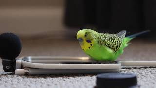 Budgie Bird With 35+ Word Vocabulary (Clear Audio!)