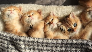 Time for Relaxation, Purring and Sleep |  Cute Baby kittens