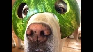 Funny, adorable and cute dog, golden retrievers compilation 2020