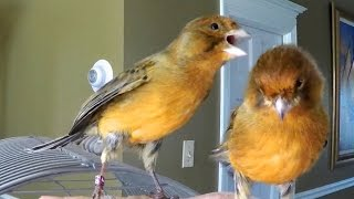 This Canary Bird is amazing funny