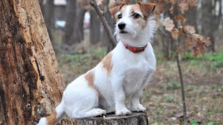 Funny Dancing Dog Jack Russell Terrier 😀 Funny dog training videos