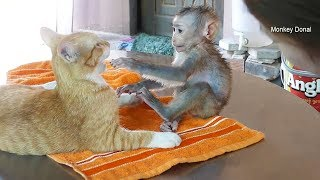 Baby monkey Donal Very Friendly With Kitten Cat
