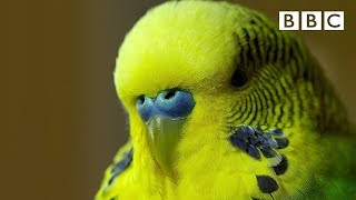 Meet Disco the incredible talking budgie | Pets – Wild at Heart – BBC