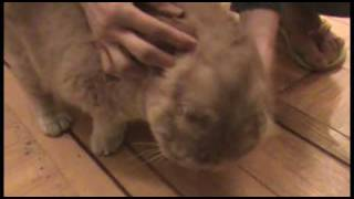 Cute cat meowing, vocal noises of Scottish Fold cats taking bath