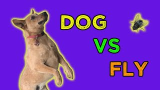 Australian Cattle Dog vs FLY : Funny Dog Hates Flies