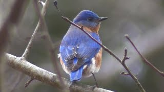 Eastern Bluebird sitting on tree before flying away | beautiful birds | #beautifulbirds