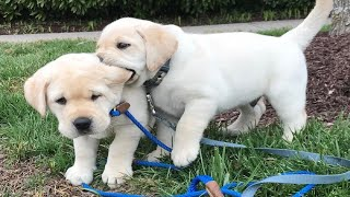 Funniest & Cutest Labrador Puppies #2 – Funny Puppy Videos 2020