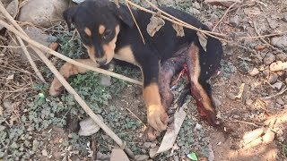 Rescue of adorable puppy with crushed leg