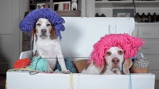 Dogs Plunder Trunk of Yarn: Cute Dogs Maymo & Penny