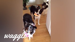 Best of Collies | Funny Dog Compilation