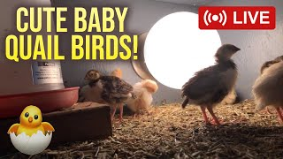 Newly Hatched Cute Baby Birds Live 🐥 Baby Quail Livestream