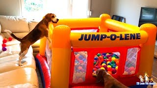 I Surprise my Cute Dogs with an Intex Bounce House : Funny Dogs Louie & Marie