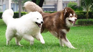 Giant Alaskan Malamute And Samoyed Cute Compilation – Cutest Dogs In The World 2019 | Puppies TV