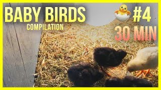 🐤 Cute Baby Birds Compilation #4 🐤 Baby Birds Eating, Pecking and Chirping