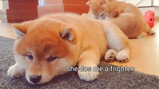 When you're scared of your mom – Shiba Inu Puppies (with funny captions)