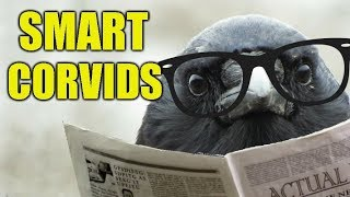 Intelligent Birds – Smart Things I've Witnessed Members of The Corvid Family Doing