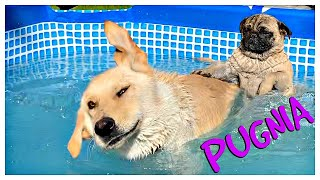 Cute dogs swimming in pool / Lola and Cookie bathtime / PUGNIA #13
