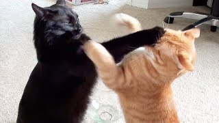 NINJA CATS! There's absolutely NOTHING MORE FUNNY!  – Impossible TRY NOT TO LAUGH compilation