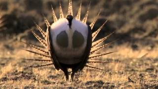 Body-popping sage grouse – Nature's Greatest Dancers: Episode 1 Preview – BBC One