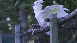 Cockatoo Parrot Dancing – white cockatoo bird video funny parrot