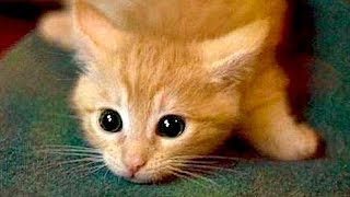Are ORANGE CATS the FUNNIEST CATS? – Super FUNNY COMPILATION that will make you DIE LAUGHING