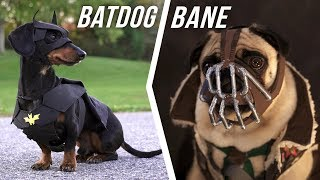 Ep #6: BATDOG vs. BANE – (Cute Dachshund & Pug in Funny Dog Video)