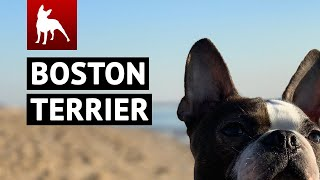 BEST Boston Terrier Dogs Compilation 😀🐾 (Funny Dogs & Cute Puppies You MUST SEE)