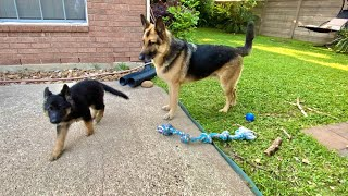 German Shepherd Gets Jealous Of New GSD Puppy | Indian Vlogger | Hindi Vlog | USA | This Indian