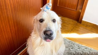 Funny Attempts to Teach a Dog to Hold a Bird on his head