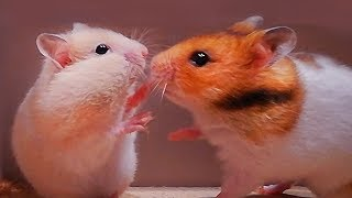 Hamsters are running and playing – Eating food and have fun