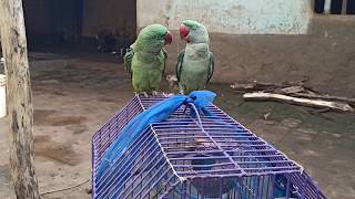 Ringneck parrot talk sweetly