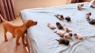 Golden Puppy Curiously Watching Baby Kittens