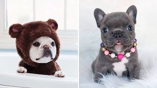 Best Funny French BullDog Puppies Videos 🐶 Cute Dogs and Cats Doing Funny Things #35