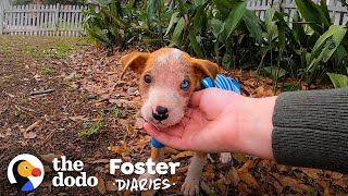 Pittie Puppy Found In A Box Gets So Big and Handsome   The Dodo Foster Diaries