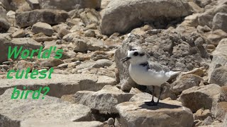 World's cutest bird?! Snowy Plover (4K) – Episode 15