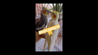 good morning cockatiel#cute #stay_at_home #birds #today #cockatiel