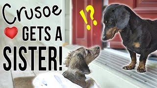 Ep #1: Crusoe Gets a SISTER! – (Cute Dachshund Puppy Video!)