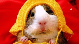 Funny hamster compilation – Cute and funny moments of the hamsters