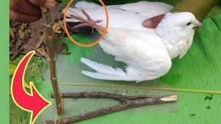 Primitive Survival Bird Trap In My Village – How to Make A Primitive Foot Snares Bird Trap That Work